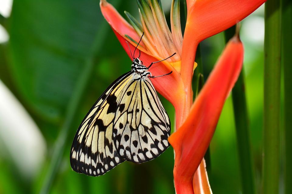 butterfly, bird of paradise, flower