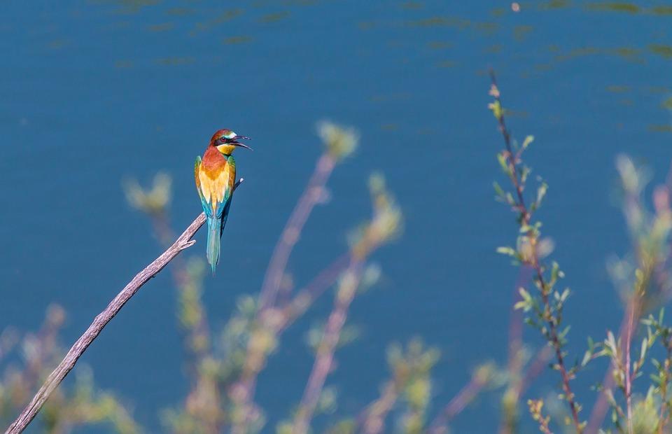 european bee eater, bird, colorful birds