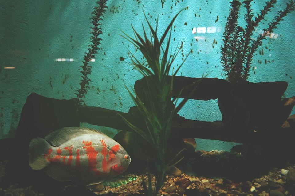 animal, fish, aquarium