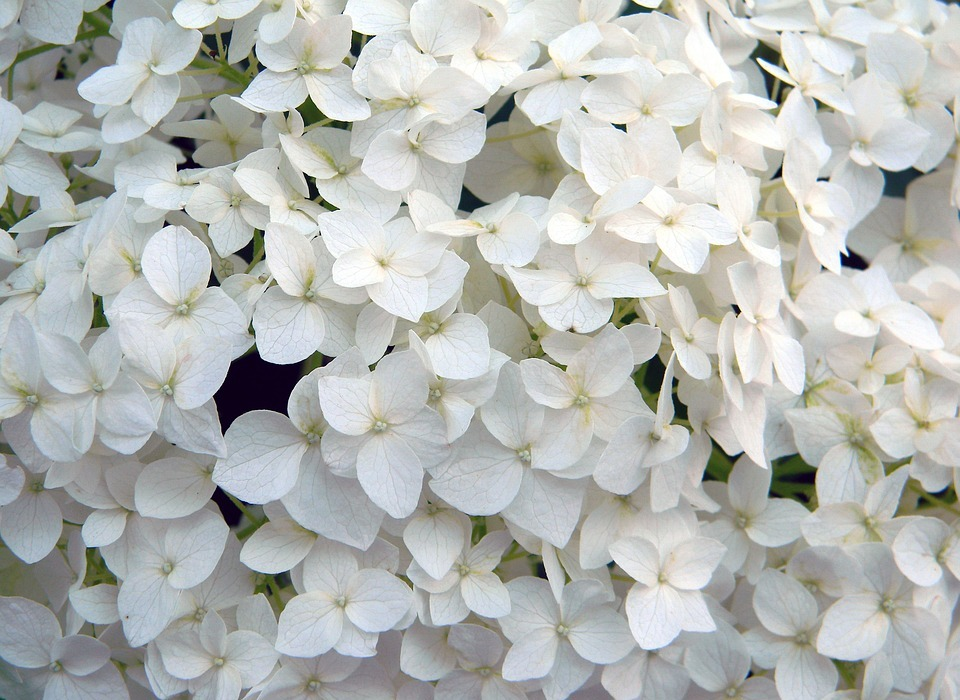 hydrangea, white flower, hydrangea special