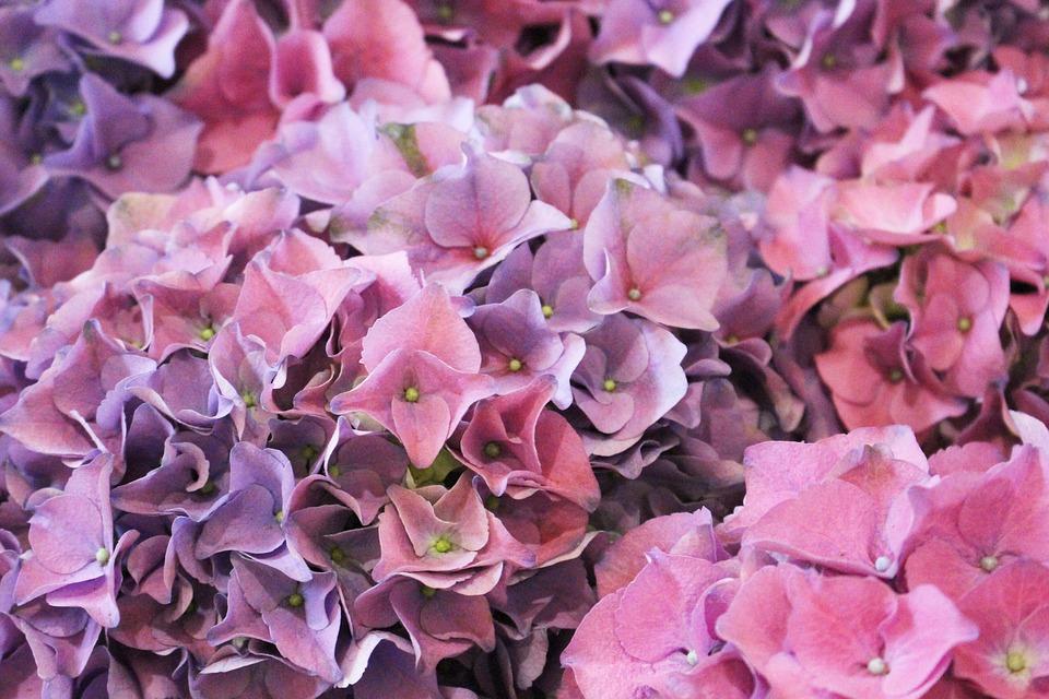 purple, pink, hydrangea