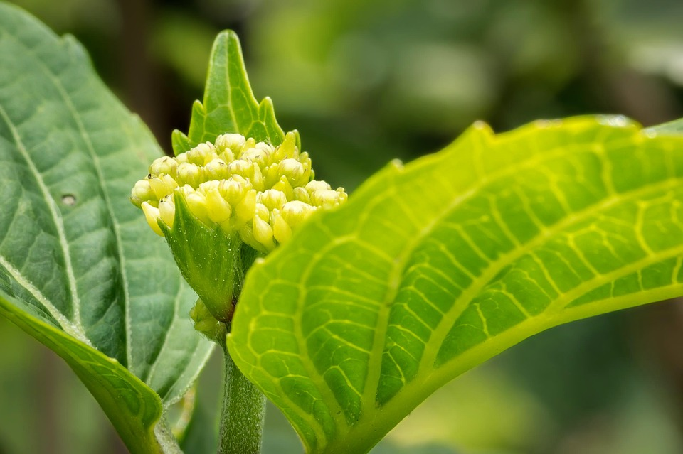 hydrangea, young, blossom