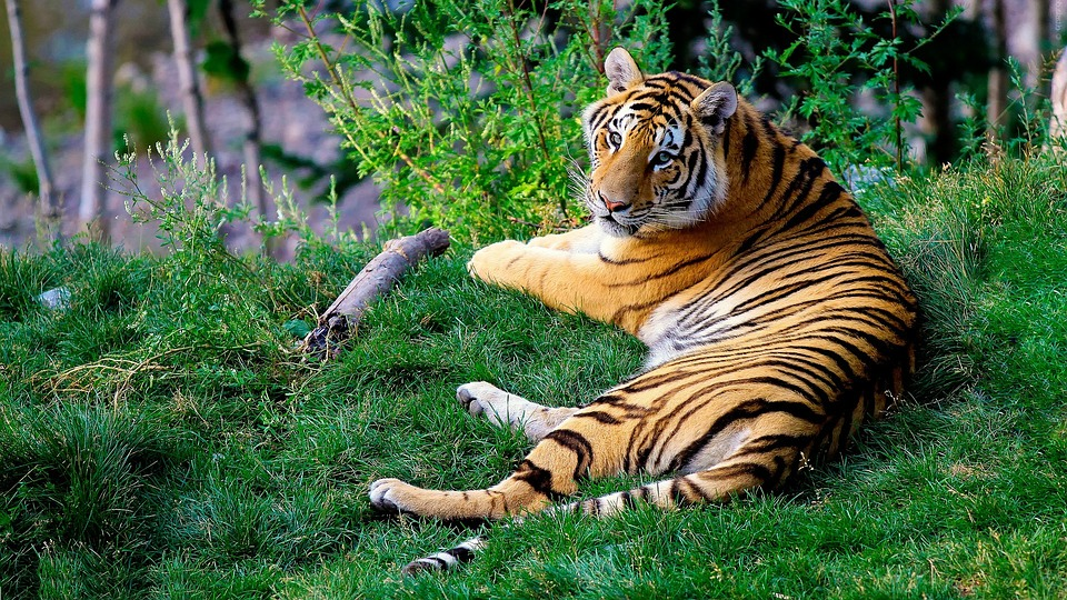 bengal tiger, tiger, forestry