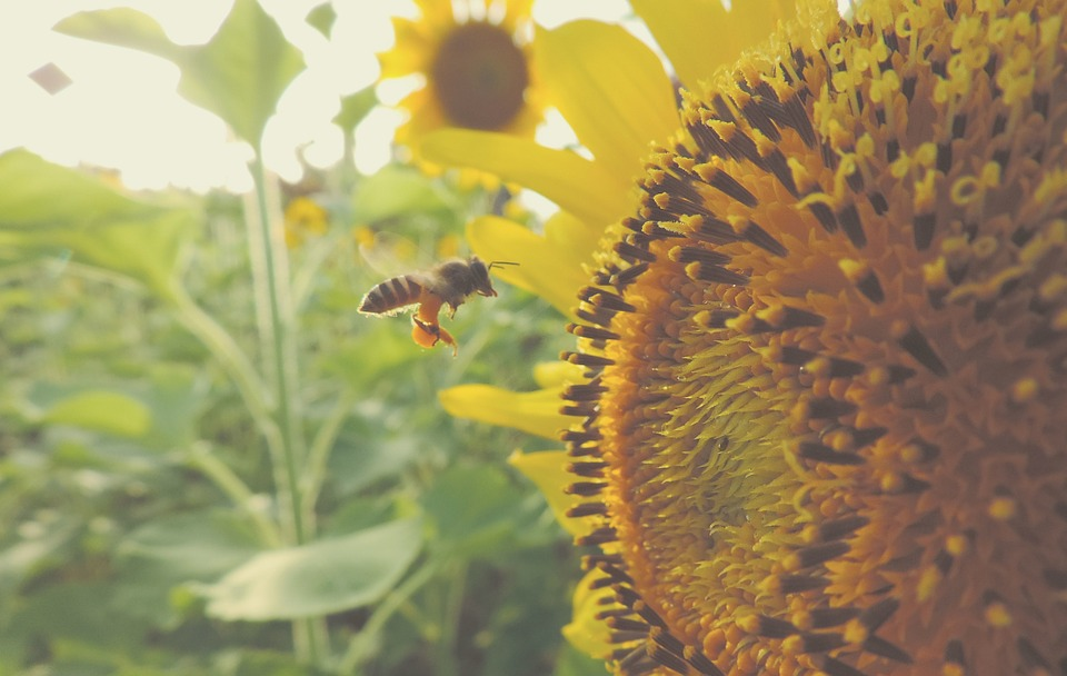 sunflower, bee, insect