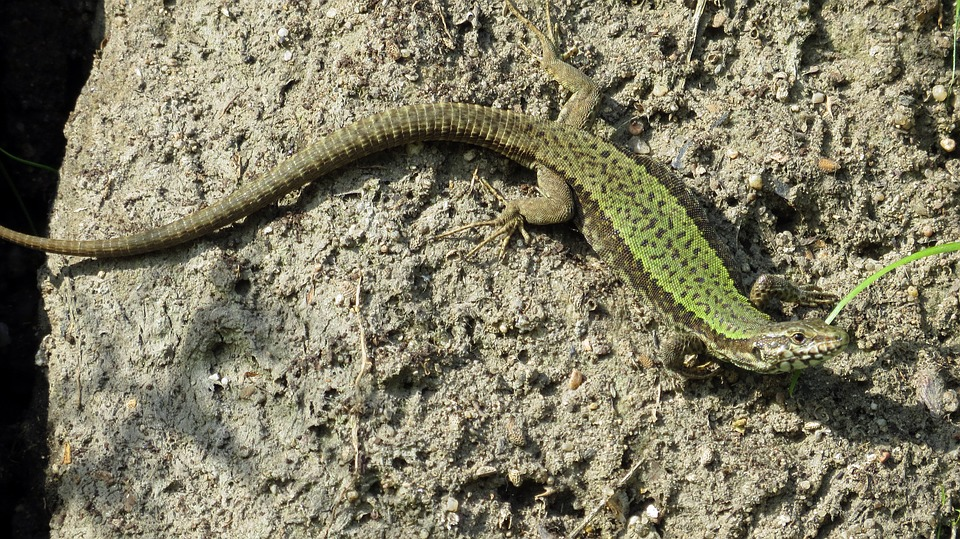 reptile, lizard, shiny