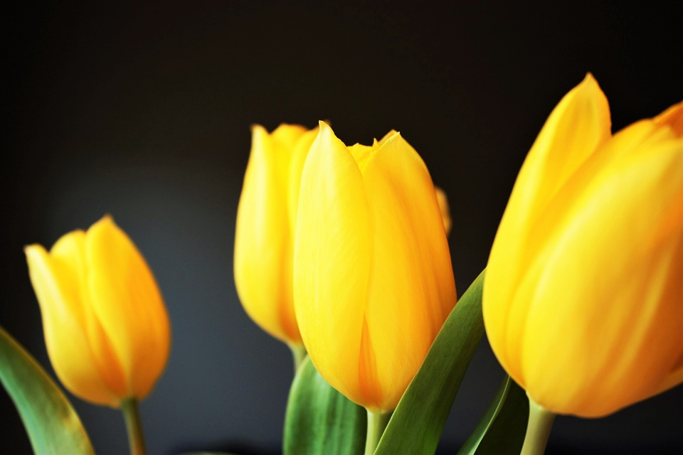 tulip, yellow, flower
