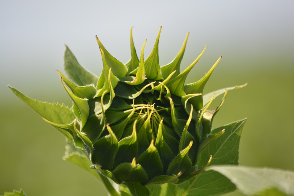 sunflower, flora, flower buds