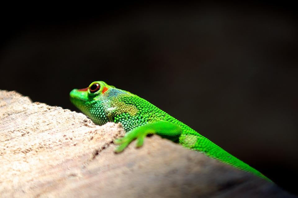 lizard, reptile, colorful