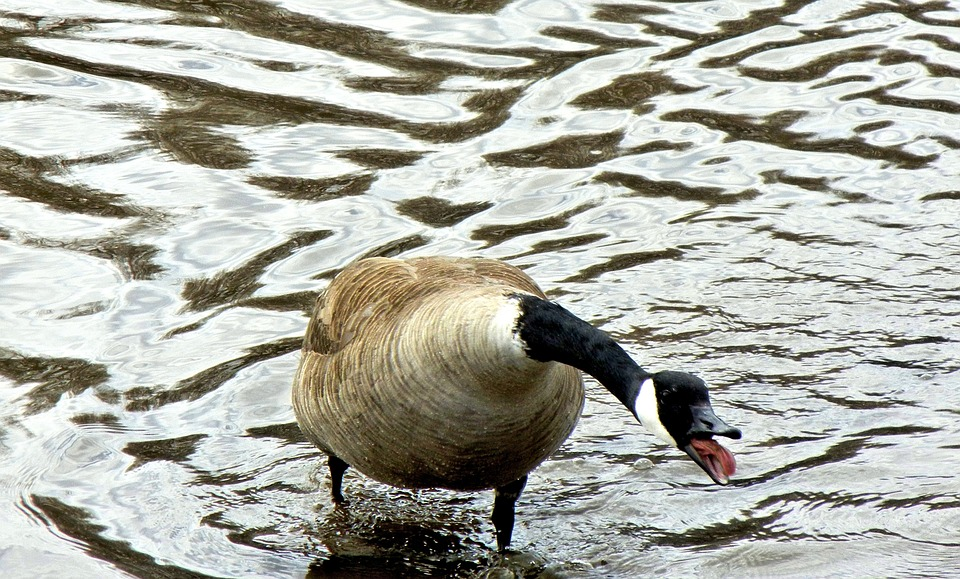 canada geese, angry, wild bird