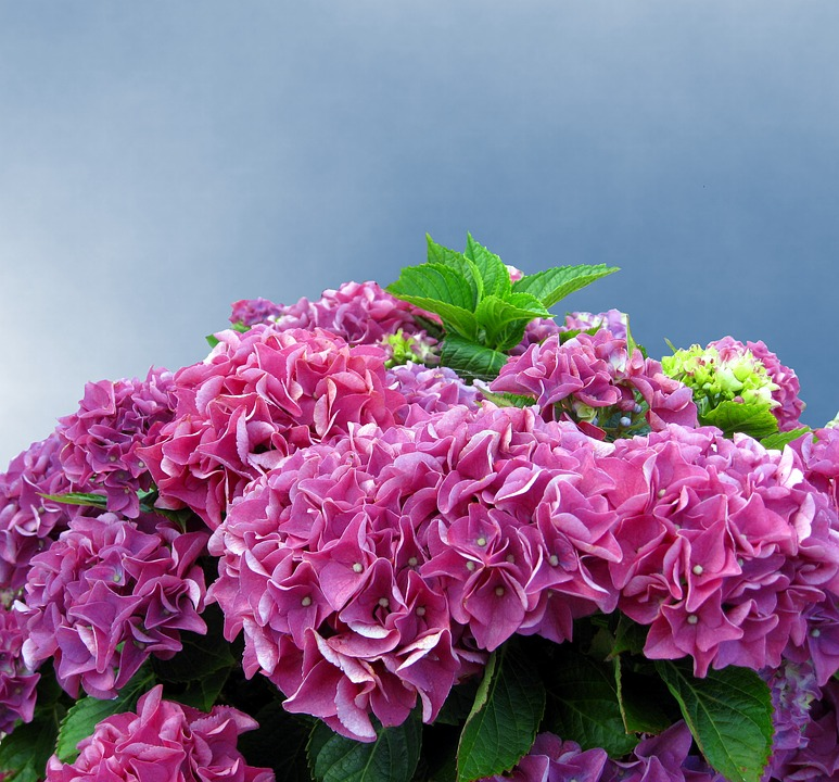 hydrangea, pink, hydrangea flower