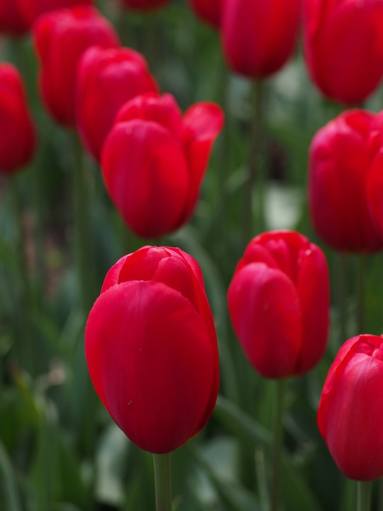 tulip, natural, flowers