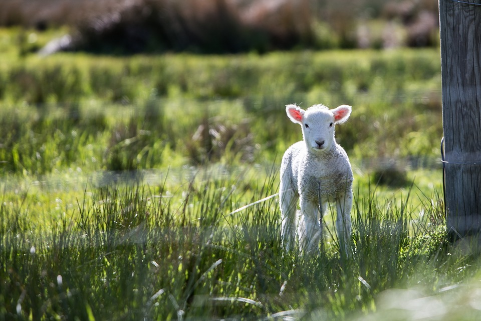 lamb, baby animals, sheep