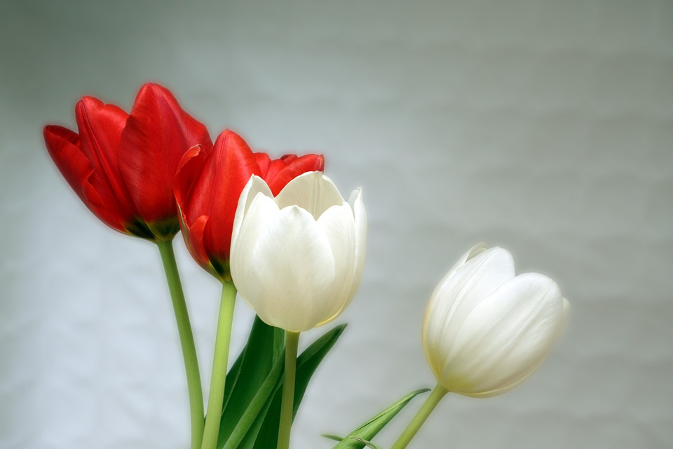 tulips, red, white