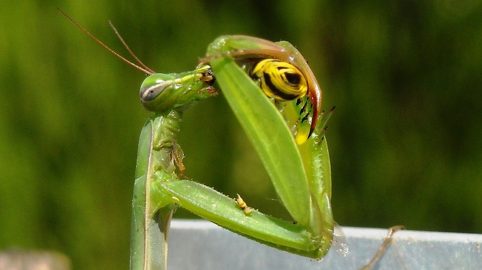 prayer, praying mantis, mantis religiosa