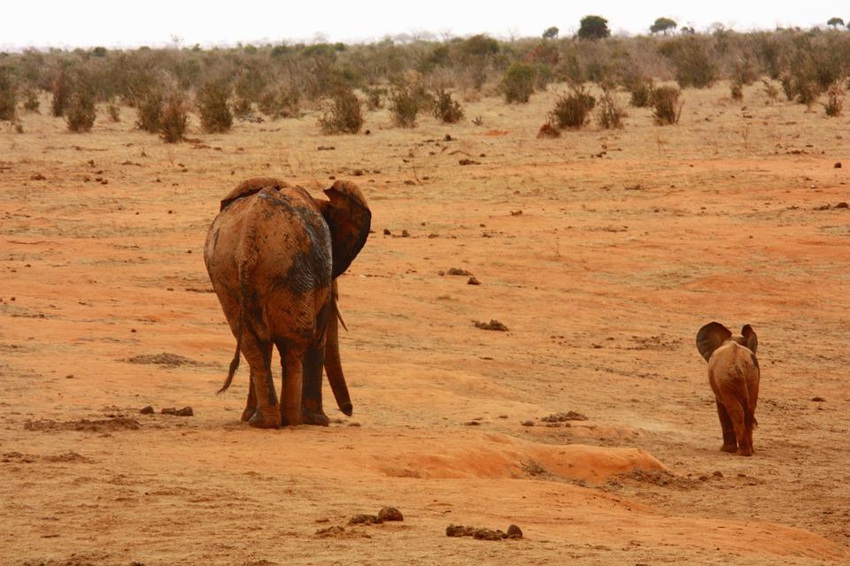 elephant, baby, animal