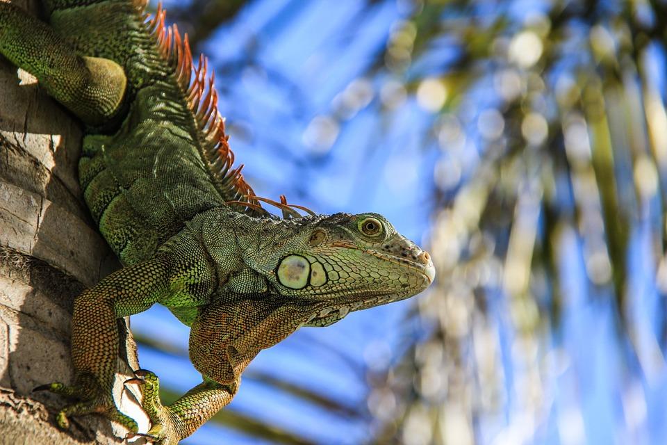 salamander, reptile, green