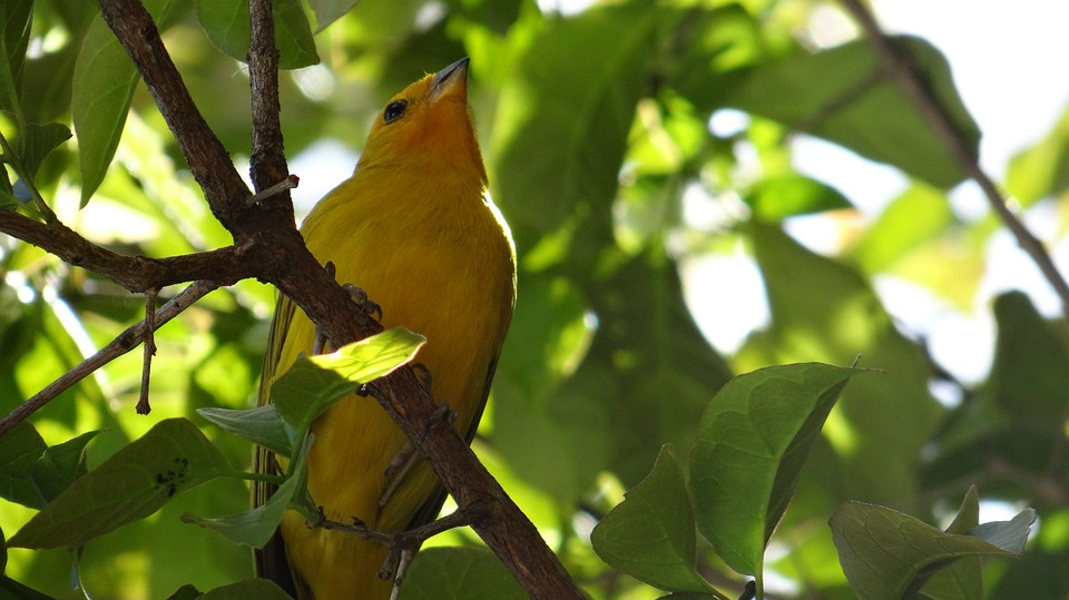 canary, bird, tropical birds