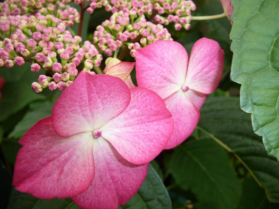 flower, close, hydrangea
