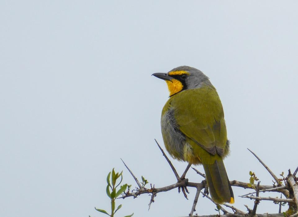 bird, colorful, yellow