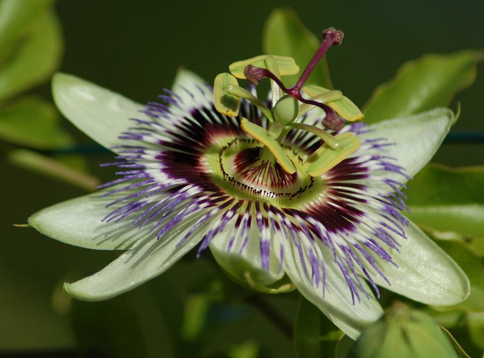 passionflower, flower, exotic
