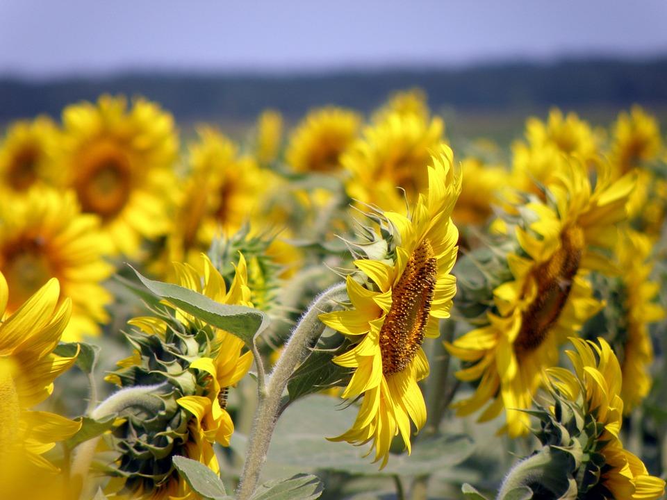 sunflowers, field, sunflower field