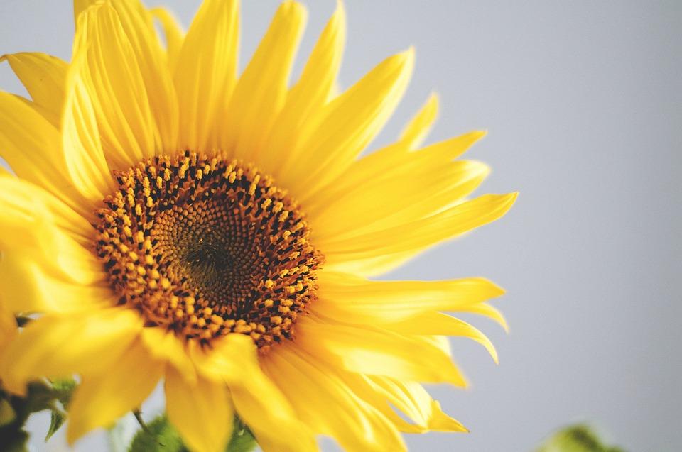 sunflower, flower, petals