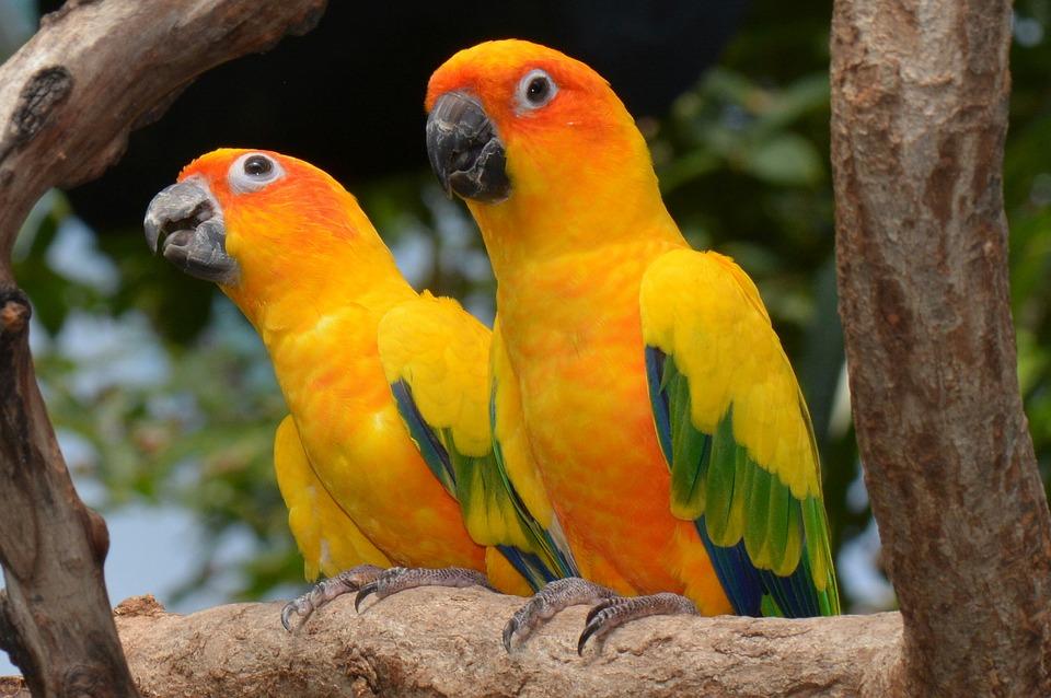 sun conures, conure, bird