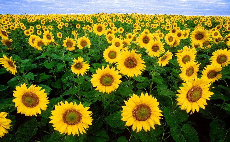 sunflower, sunflower field, flora