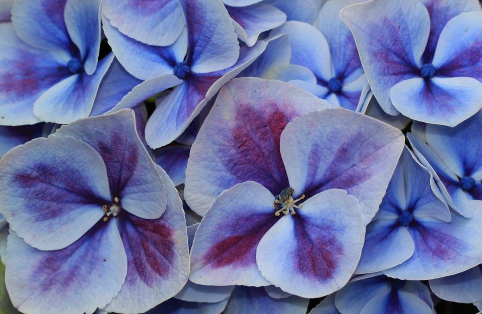 hydrangea, hydrangea flower, blossom
