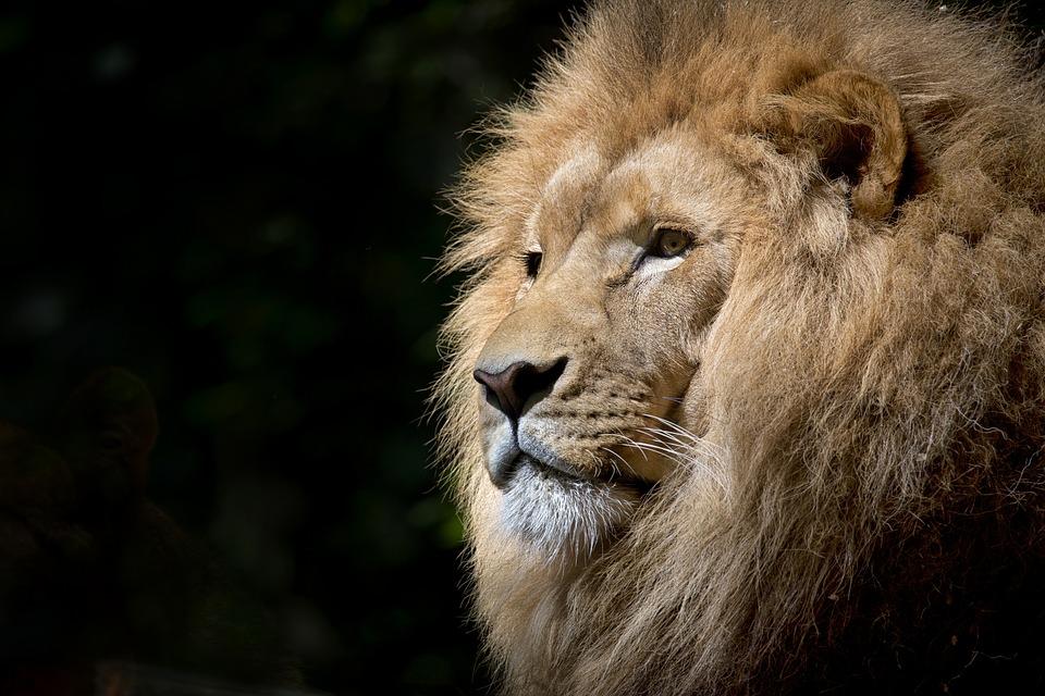 lion, wild, africa