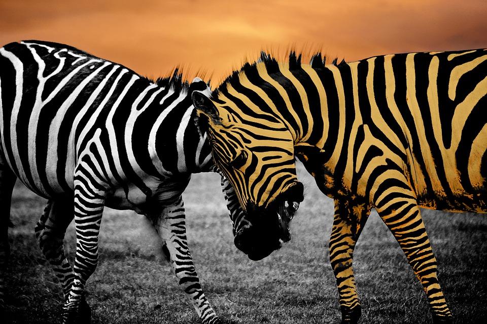 safari, zebra, animal