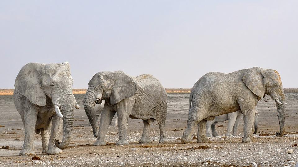 elephant, herd of elephants, africa
