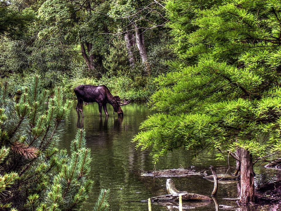 moose, animal, wildlife