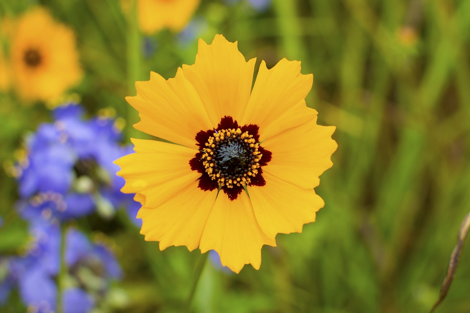 coreopsis basalis, wildflowers, mothers day
