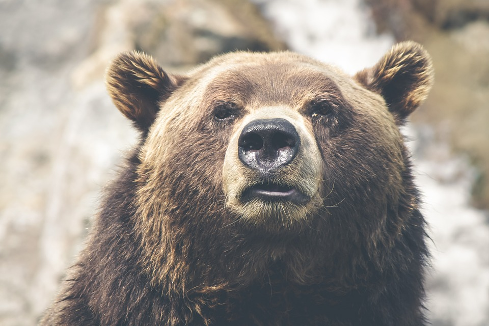 brown bear, grizzly, canada