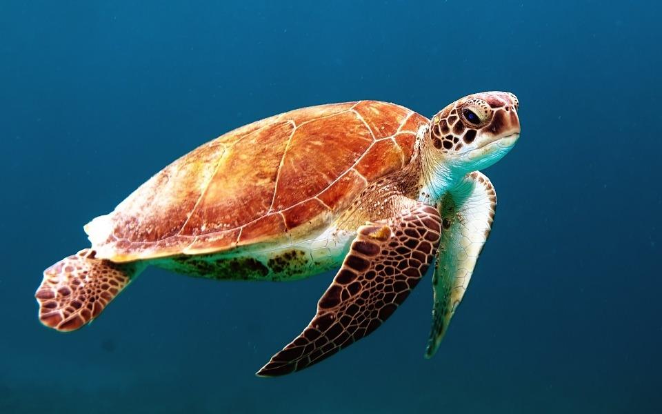 turtle, tortoise, swim