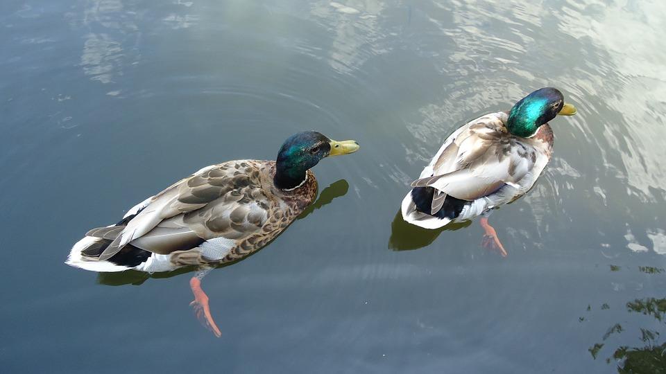 ducks, colorful, birds