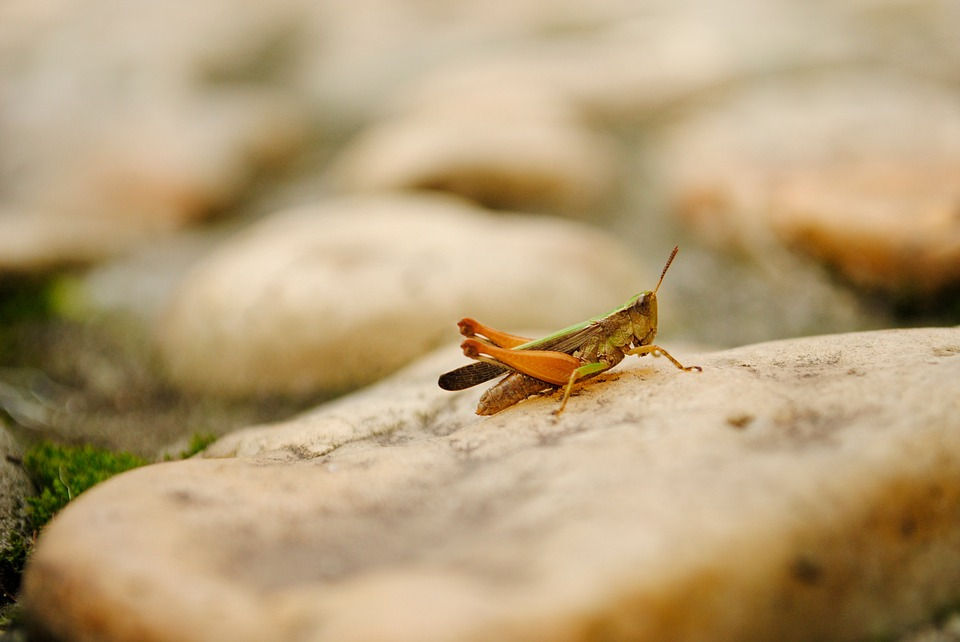 cricket, insect, grasshopper
