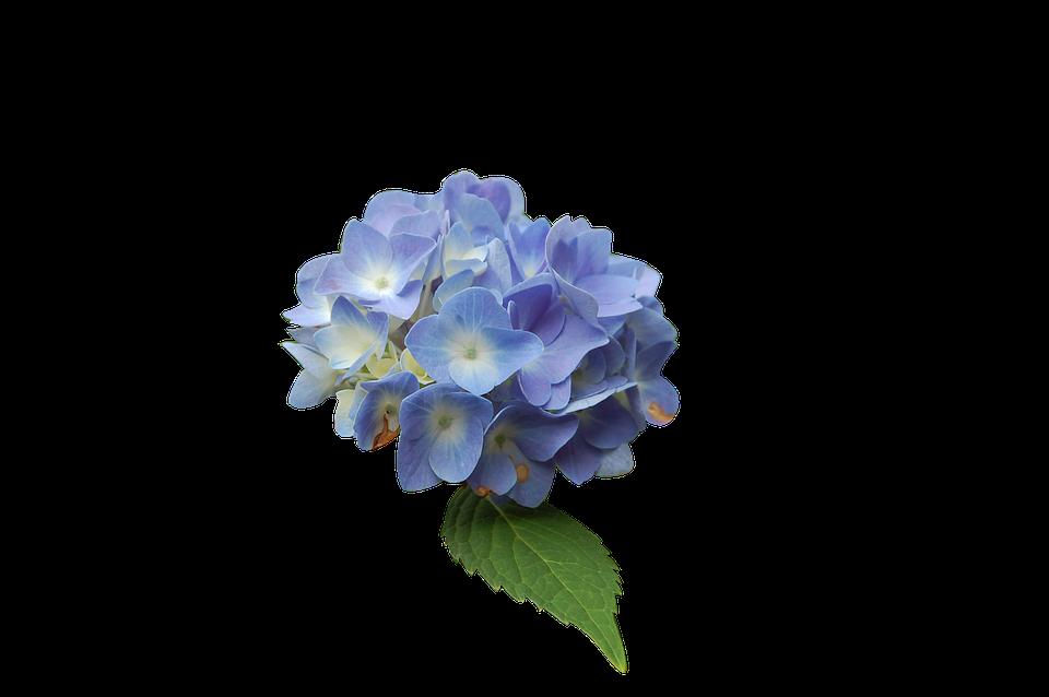 flower, blue, hydrangea