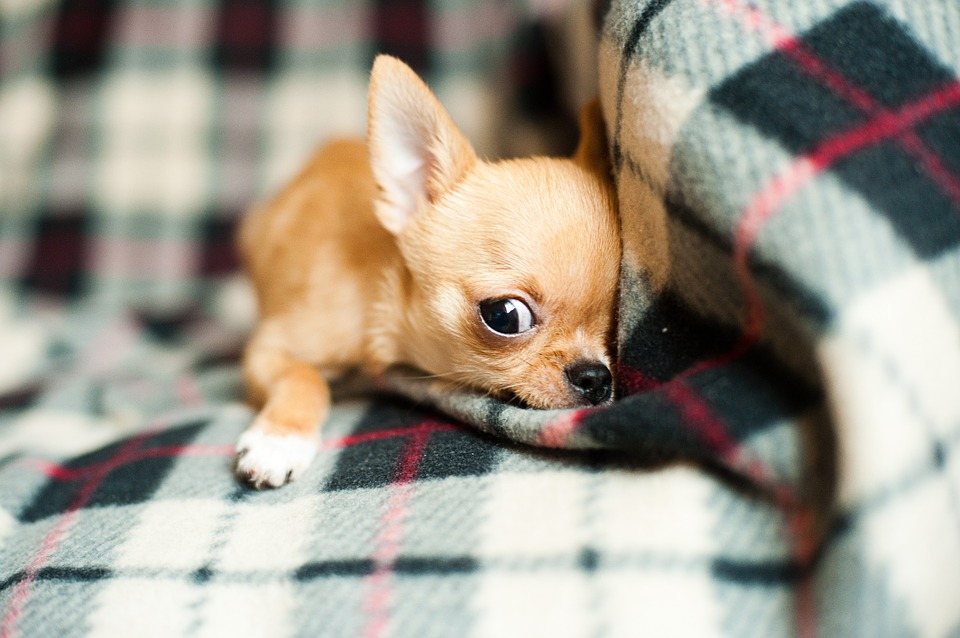 chihuahua, puppy, pet