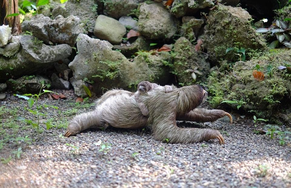 sloth, baby, animal
