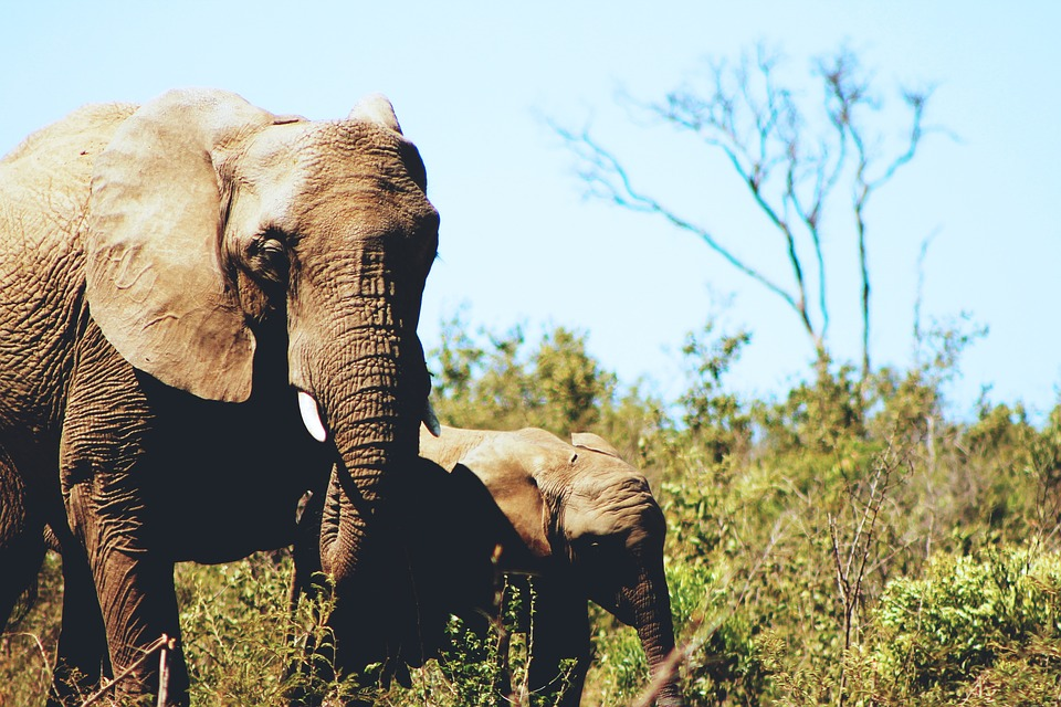 elephants, wildlife, animal