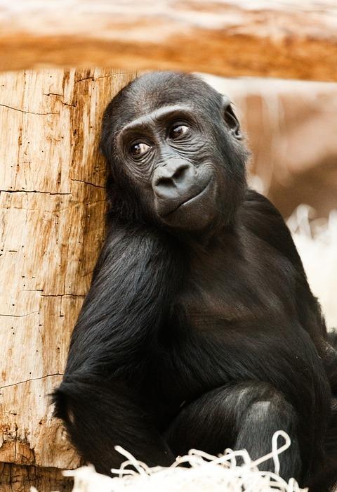 baby, animal, gorilla