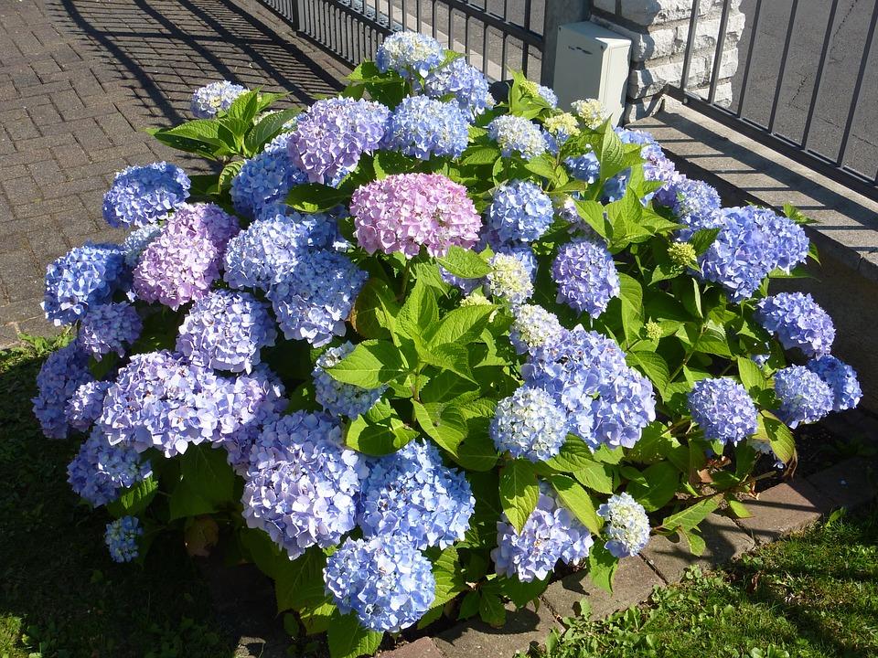 hydrangea, greenhouse hydrangea, violet