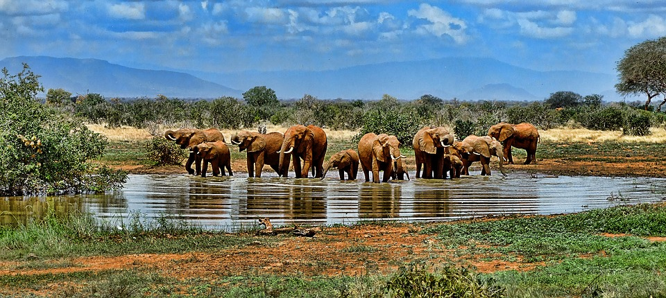 elephant, watering hole, safari