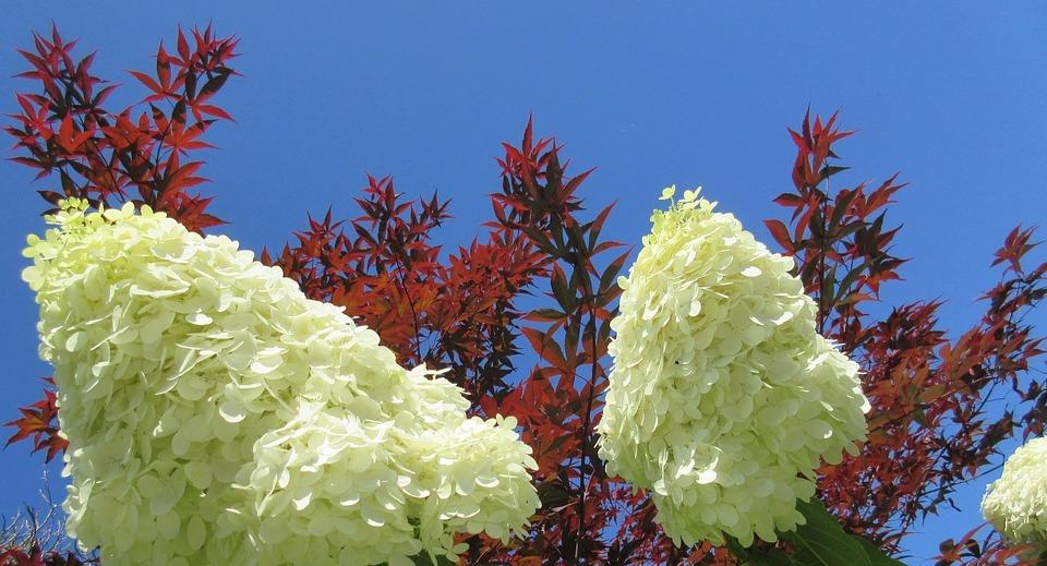 hydrangea, flower, maple leaf