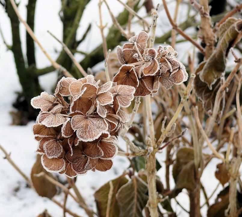 winter, ice, hydrangea