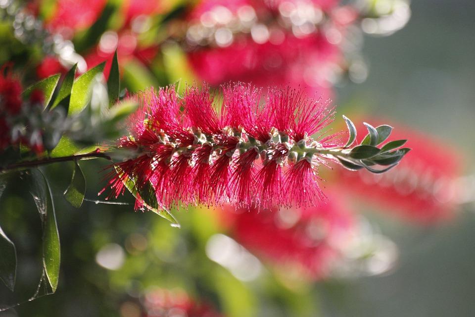bottlebrush, exotic flower, callistemon