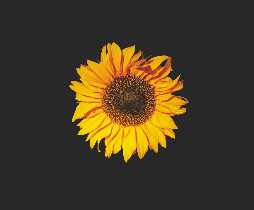 sunflower, sun flower, flower