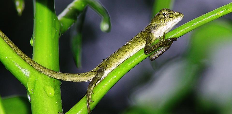 reptile, gecko, italy